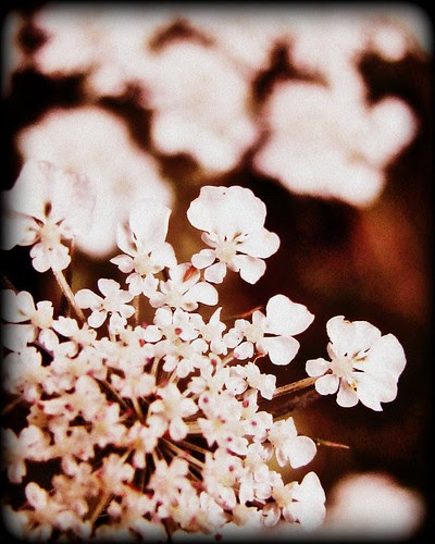 HBW!! ~ queen anne's lace