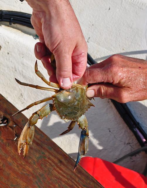 Blue Crab (2)