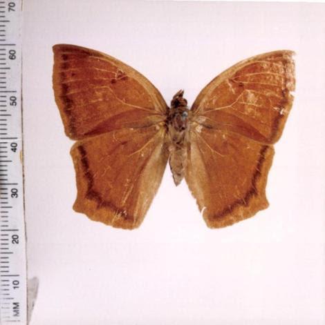 Narope cyllarus