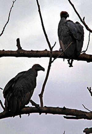 Giving new life to vultures to restore a human ritual of death
