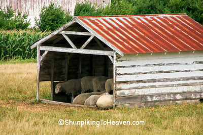 Sheep in the Shed, Columbia County, Wisconsin