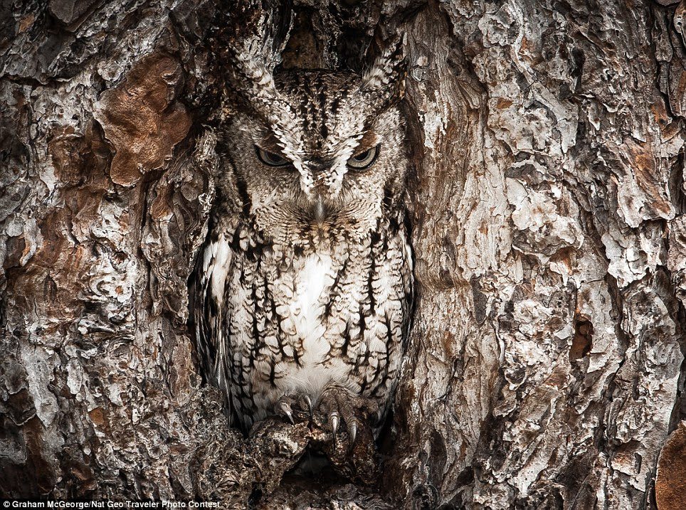 What a hoot: The Eastern Screech Owl is seen here doing what they do best: blending into their surroundings