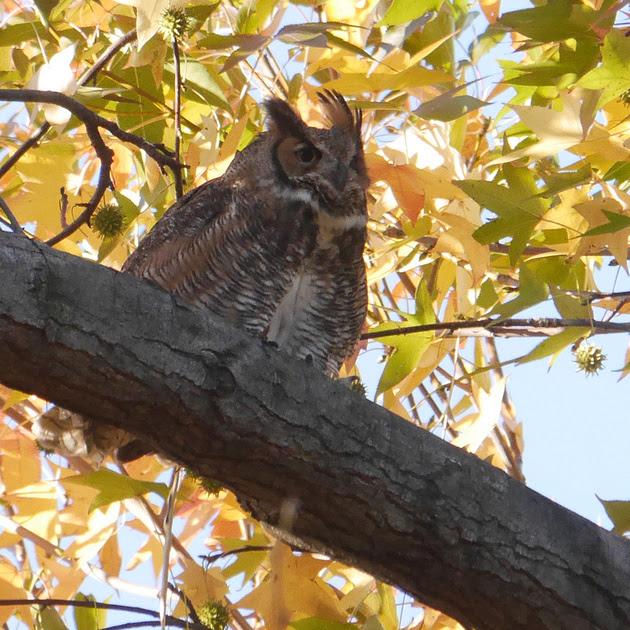 Ed Gaillard: birds &emdash; Great Horned Owl, Central Park