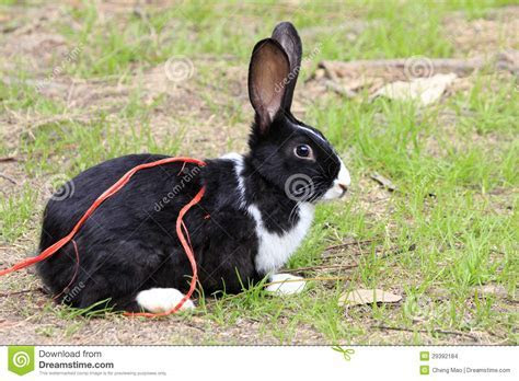 Rabbit Bunny Black And White Stock Photo   Image of animal, rodent: 29392184