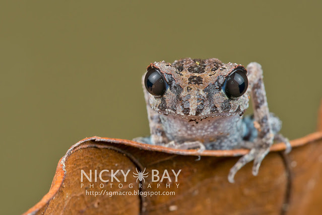 Black-eyed Litter Frog (Leptobrachium nigrops) - DSC_8611