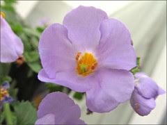 Bacopa flowers