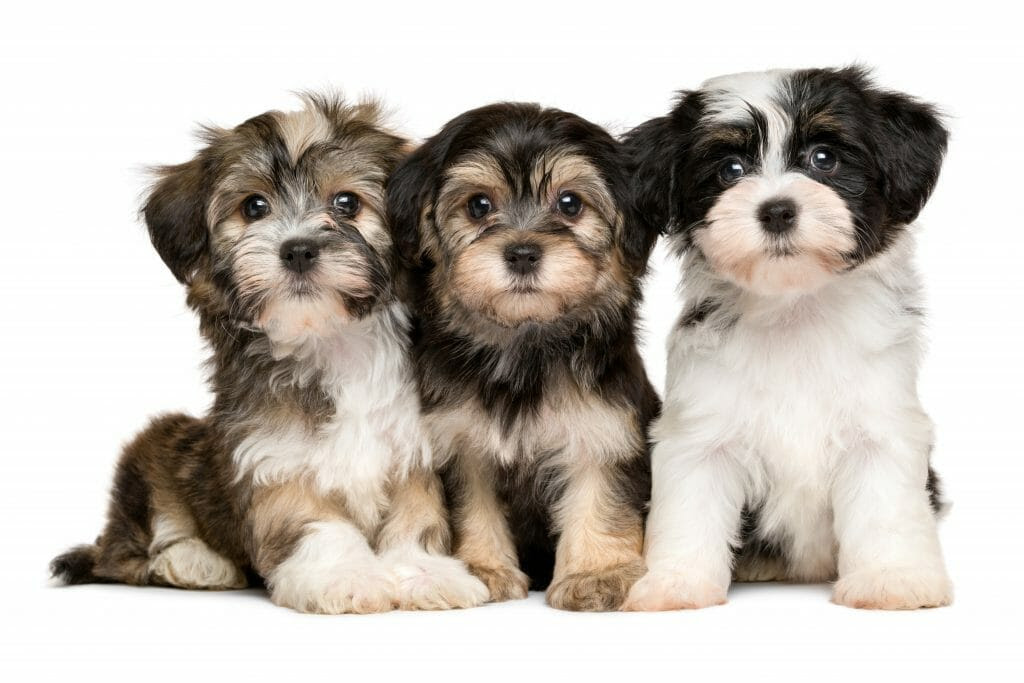 Havanese Breeders – All about Havanese Breeders