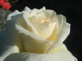 et la Rose !