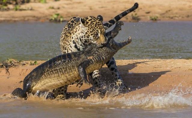 El jaguar que desayuna caimanes (vídeo)