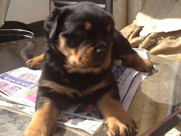 Huge Size Rottweiler Puppies For Sale In India
