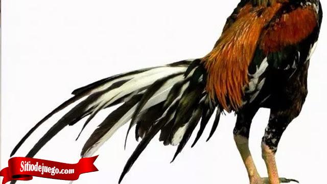 101 Gambar Ayam Lagi Tarung HD