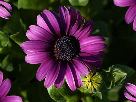 purple flower purple gerbera daisy picture flowers