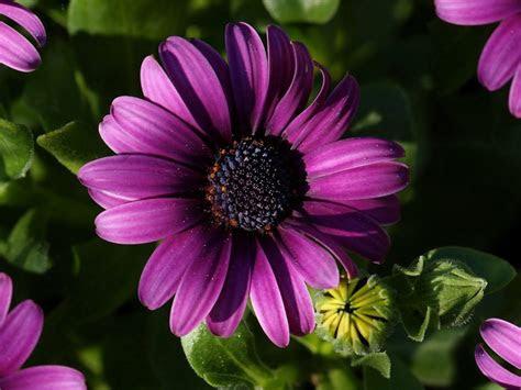 purple flower purple gerbera daisy picture flowers