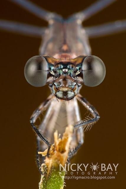 Damselfly (Zygoptera) - DSC_7221