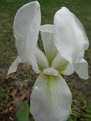 Iris out front