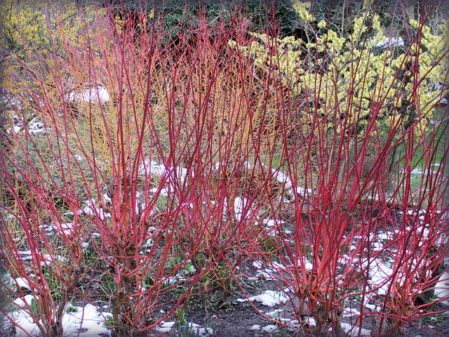 Colourful cornus