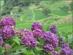 12 purple hortensia