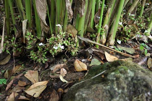 Cardamon grows at the base