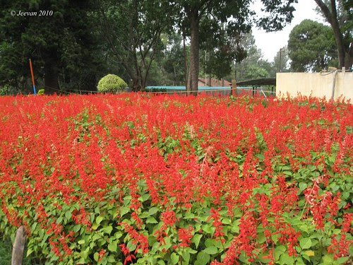 red salvias carpet