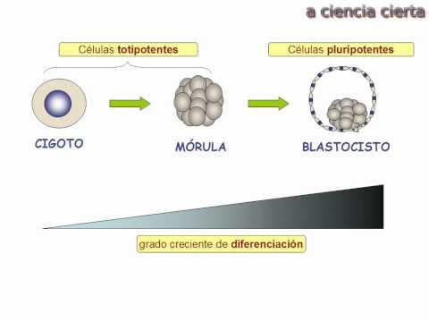 Genética del desarrollo embrionario