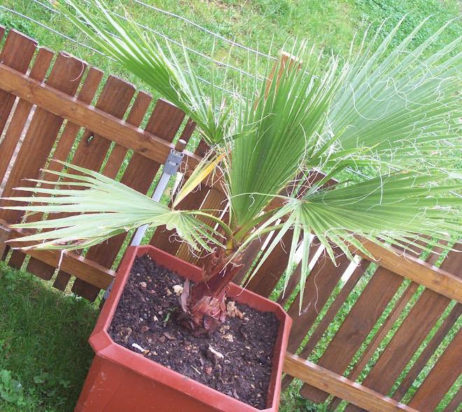 palmier 2006