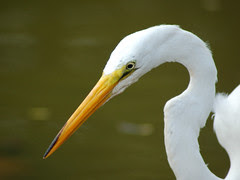 Great Egret in Morningside Park