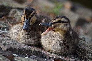 Two Mallard ducklings (Anas platyrhynchos) at ...