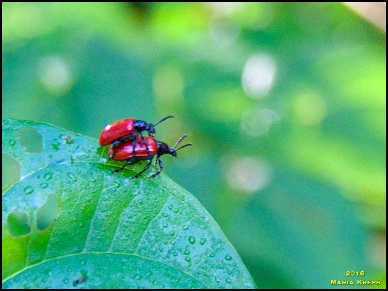 Air Potato Beetle