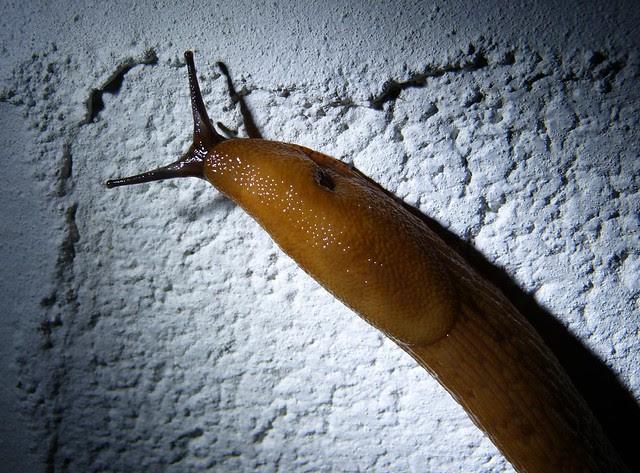 27589 - Black Slug