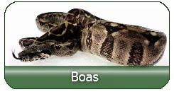 Boas aus deutscher Zucht direkt vom Züchter kaufen
