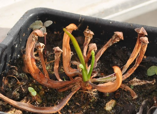 1 year old Sarracenia seedling, waking up from dormancy