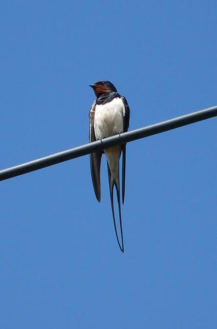 24203 - Swallow, Pontlliw