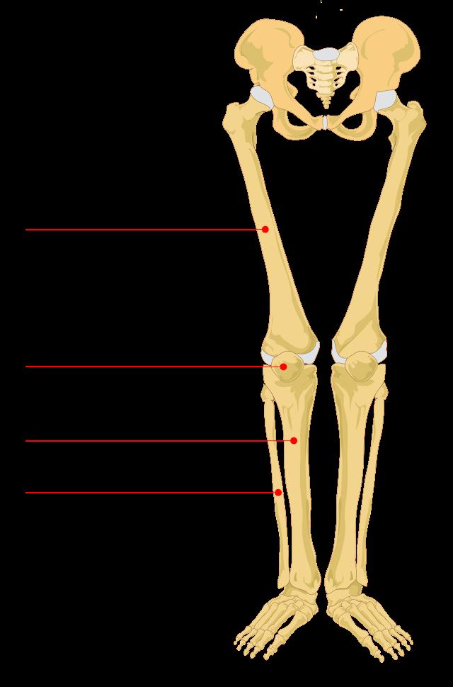 Bones In Leg Diagram / Leg - Lower Limb