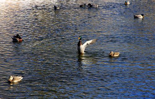 duckflapper