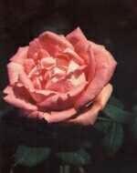 Rose Georg Arends