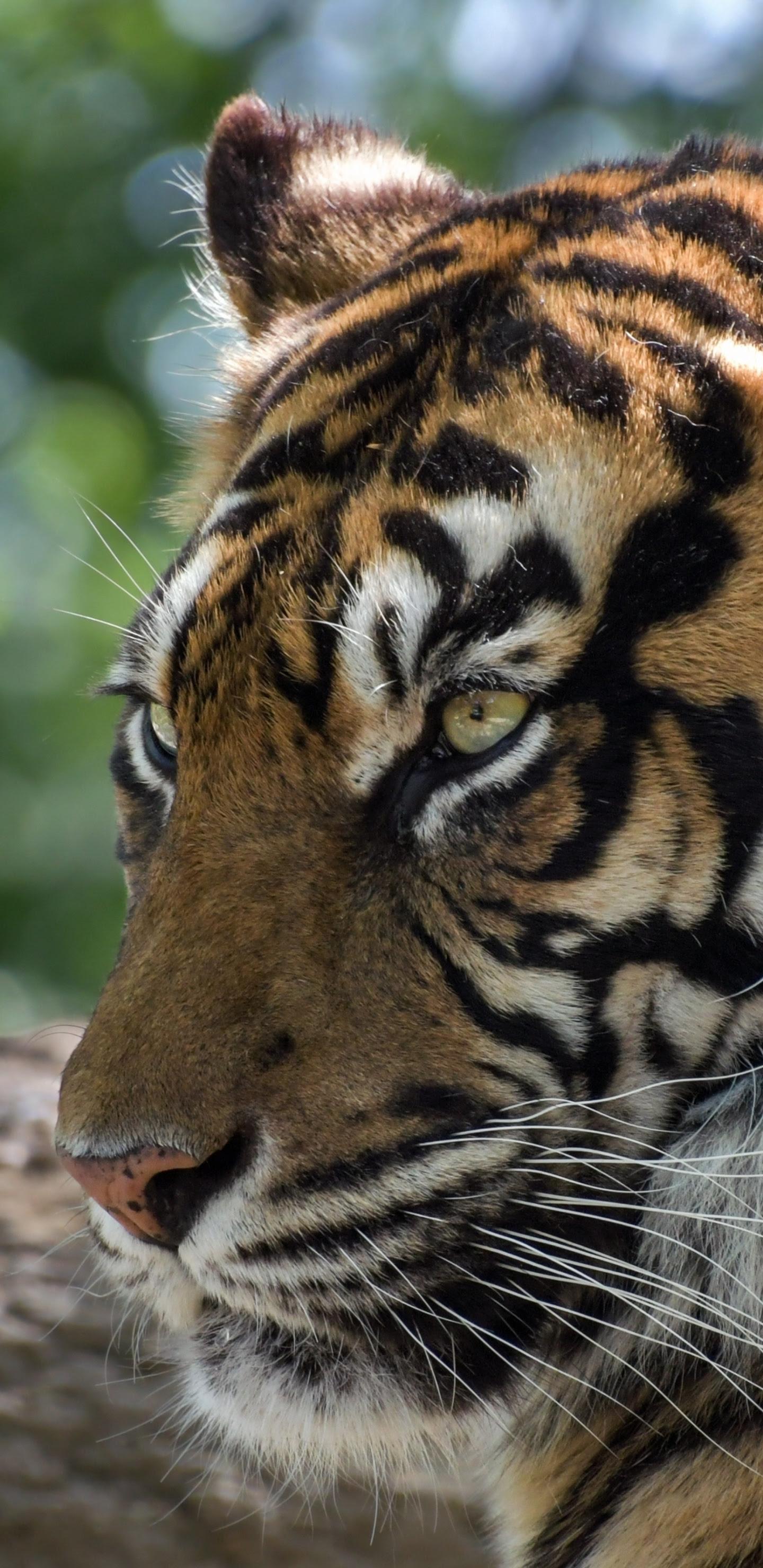 Download 1440x2960 Wallpaper Tiger Furious Animal Muzzle Samsung