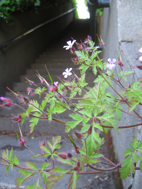 flowers, fairfax-cumberland stairs