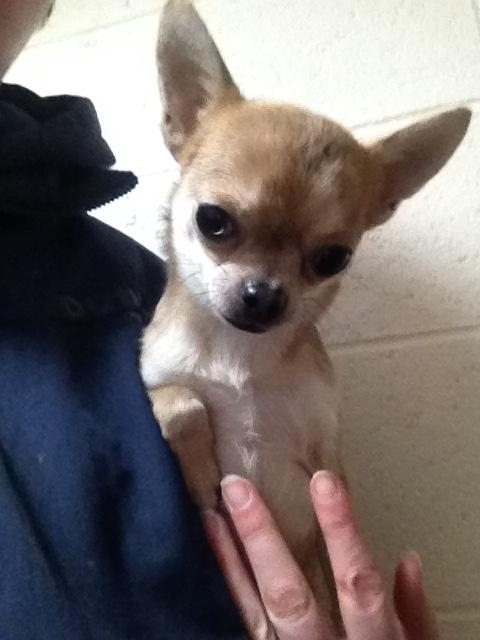 Belle – 1 year old female Chihuahua Cross