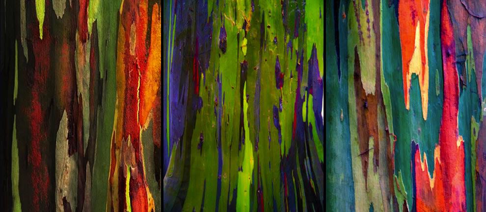 Resultado de imagen de eucalipto arcoiris