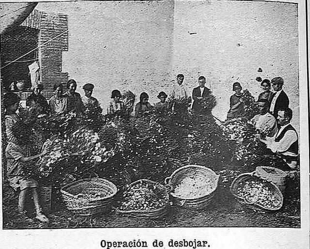 Desbojando capullos de gusanos de seda en el Monasterio de San Bernardo en Toledo en 1925.