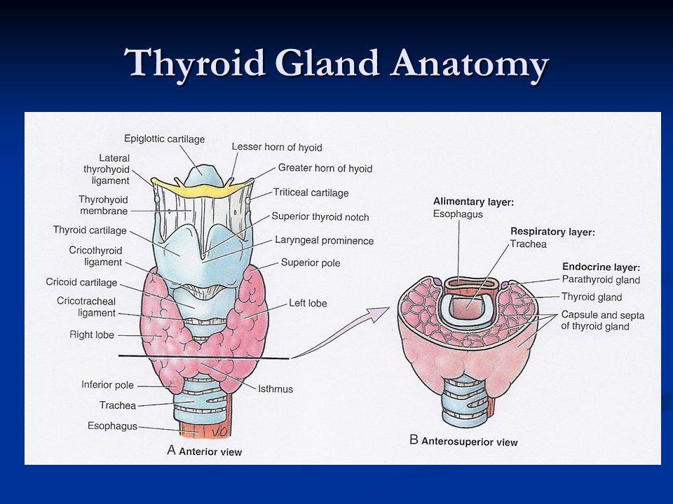 Thyroid+Gland+Anatomy