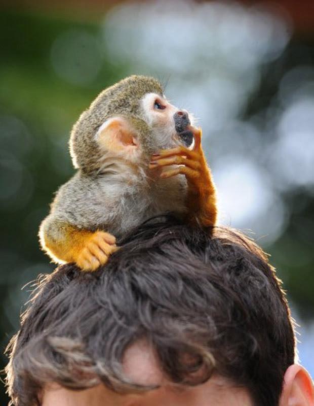 O macaco-esquilo Charles Darwin passeia na cabeça de seu dono durante filmagem nesta quinta-feira (21) em Berlim. O flagrante foi feito por Jens Kalaene (Foto: AFP)