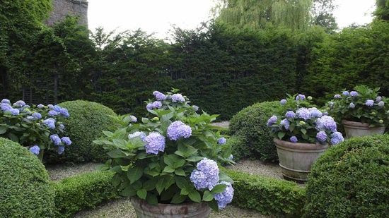 hydrangeas in pots + boxwood