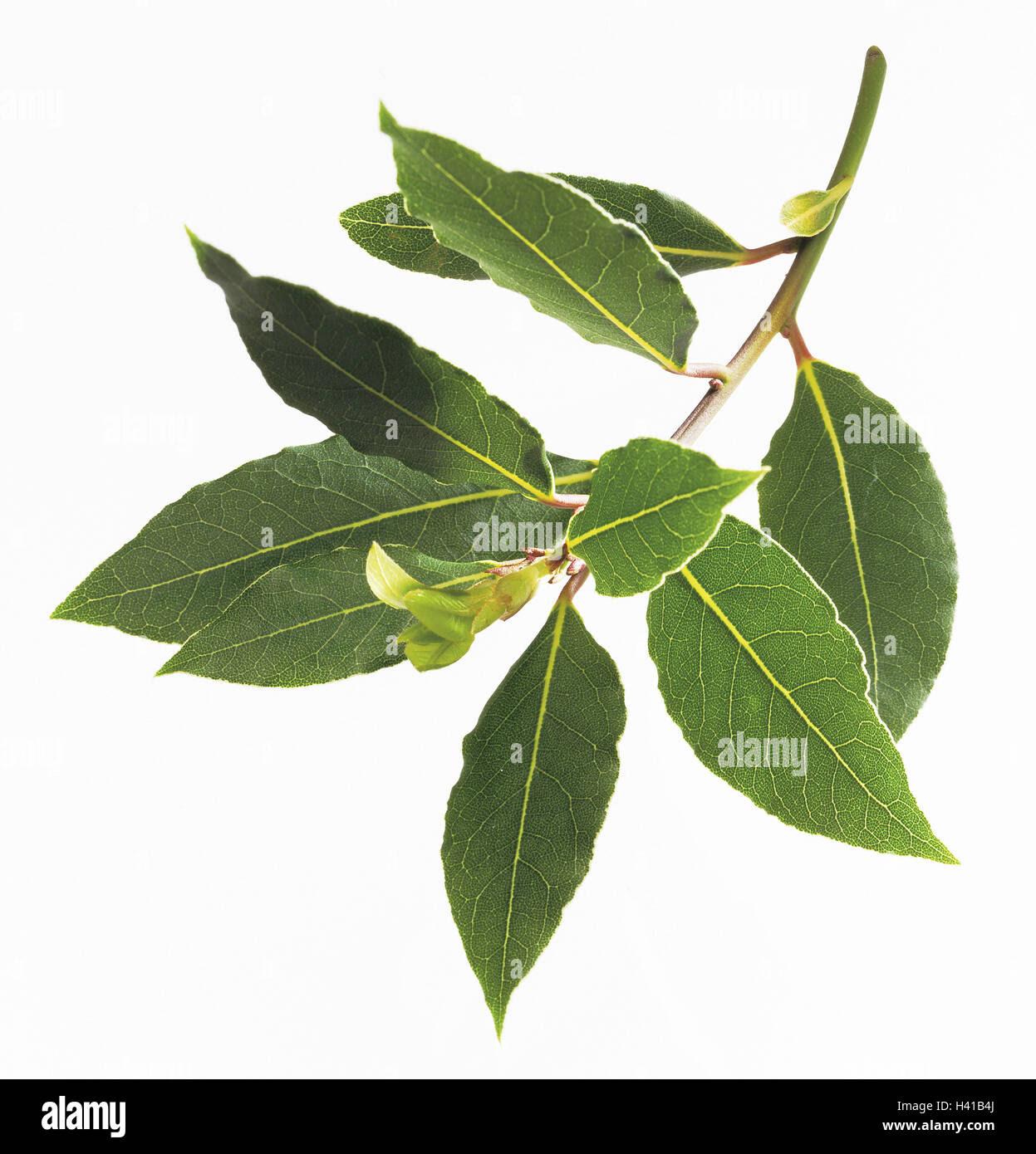 Bay leaf, Laurus nob