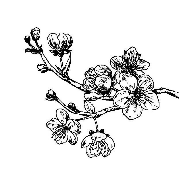 Flor De Cerezo Para Colorear Pintar E Imprimir