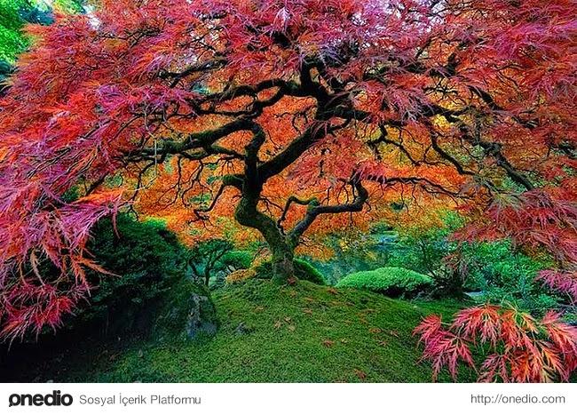 13. Portland, Oregon'da bulunan Japon akçaağacı tam bir renk cümbüşü yaşatıyor.