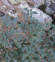 cliffbrake - pellaea andromedifolia