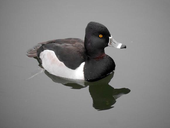 Ed Gaillard: birds &emdash; Ring-Necked Duck, Central Park