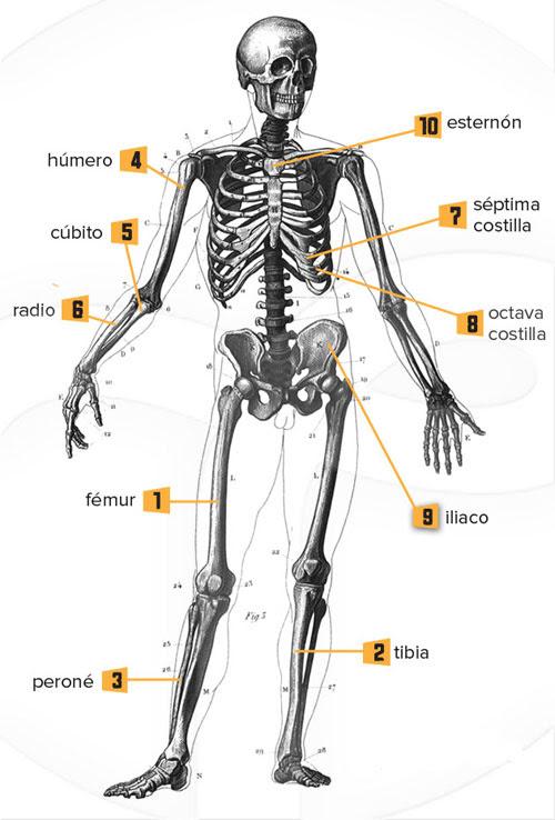 huesos mas largos del esqueleto humano
