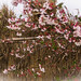 Cherry blossoms against the reed fence.jpg